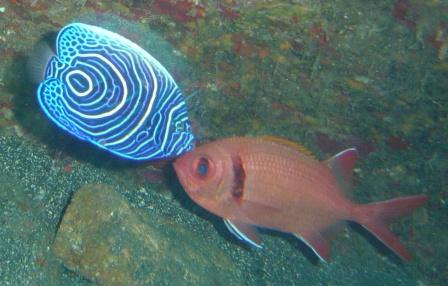 八丈島 タテジマキンチャクダイの幼魚とアカマツカサの接近遭遇