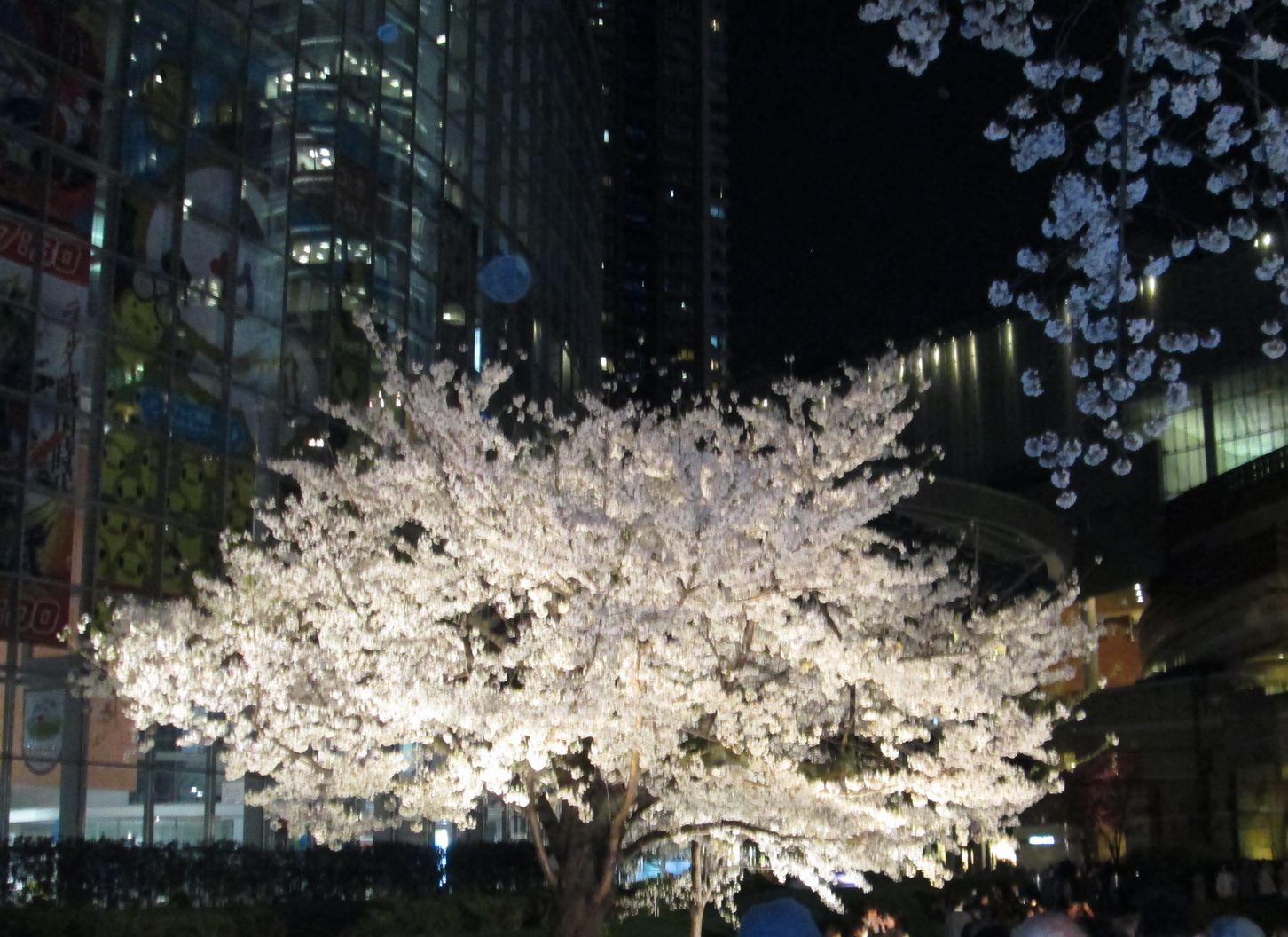 六本木ヒルズと夜桜