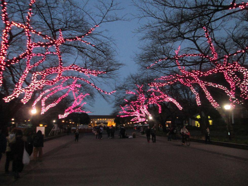 上野公園は冬の桜が満開?