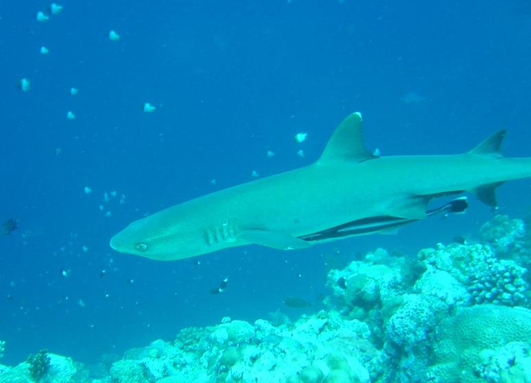パラオ サメ達